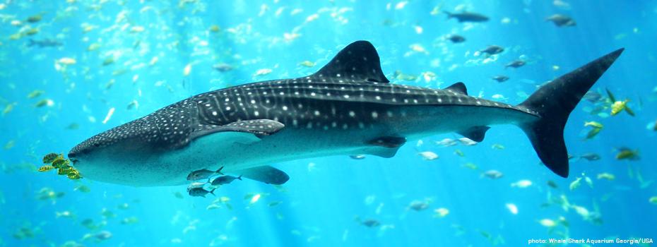 Whale-Shark-Aquarium-Georgia-USA