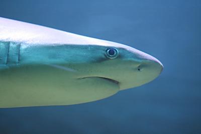 Haifischflossen-Handel in Kenia